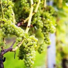 Svensk vinodling på stark tillväxt